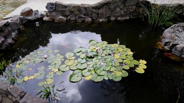 Tavirózsák a tóban